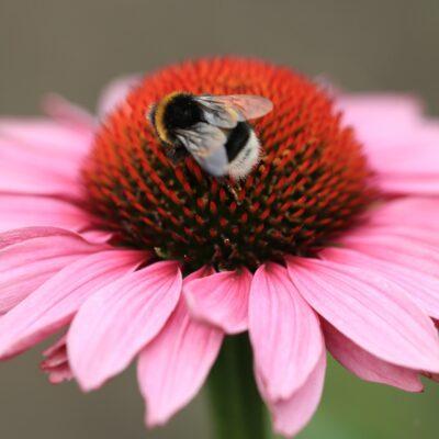 Biene Wildbiene Hummeln Futterpflanze Bienenfreundlich Echinaceae